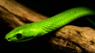Green Mamba video