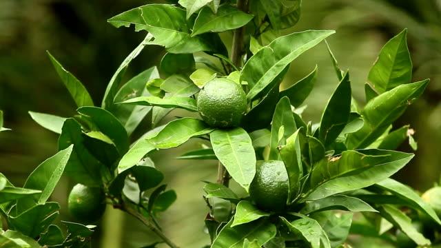 Green mandarins on a tree. Unripe tangerine. Montenegrin mandari video