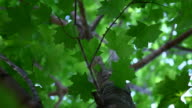 Green Maple Leaves Looking Up through tree video