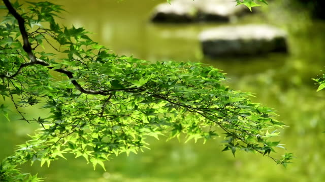 Green maple leaves mirror water ripples on pond video