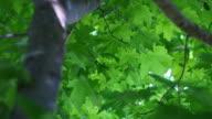 Green Maple Leaves Through Tree Backlight video