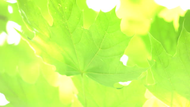 Green maple leaves video