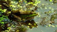 Green marsh frog. HD. video