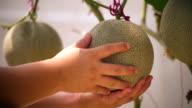 green melons video