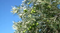 Green Olive Branch video