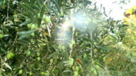 Green Olive Tree video
