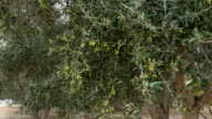 Green olives grow on trees video