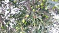 Green olives in branch video