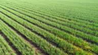 Green onions field, aerial video