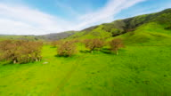 Green open horse cow pasture with fresh after rain small green grass growing on ground and old growth brown dormant large grove of leafless trees hills and blue sky in background as 4k aerial camera tracks toward the trees in Northern California video