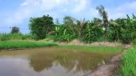 Green paddy field with one empty paddy field full of water. video