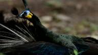 Green Peafowl (Peacock) - Pavo muticus. video