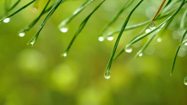 Green pine branch video