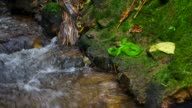 Green pit viper resting close to tropical stream video