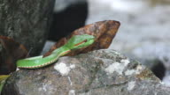 Green pit viper resting on the rocky floor video