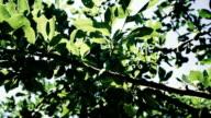 Green Plum branch in the garden video