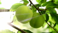 Green plums on the branch video