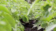 green potato field video