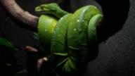 Green Python video