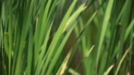 Green Reeds in the Breeze video