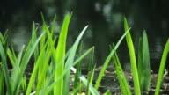Green Reeds on a Lake video