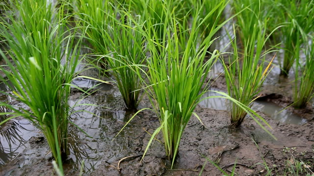 Green  Rice Field close-up video