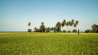 Green rice field.. Philippines video
