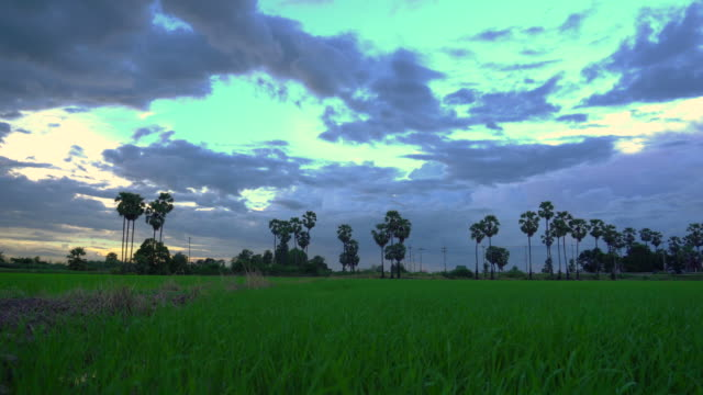 Green rice paddy field at sunset video