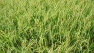 Green rice paddy video
