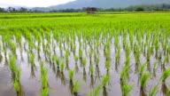 Green rice planting field video