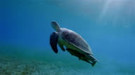 Green Sea Turtle and Remora Fish swimming about seagrass bed / Marsa Alam video