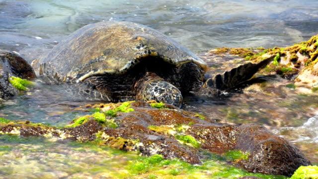 green sea turtle  Chelonia mydas video