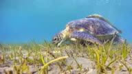 Green Sea Turtle grazing and Remora Fishes on seagrass bed video
