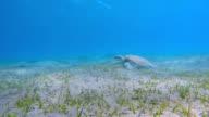 Green Sea Turtle grazing on seagrass bed / Marsa Alam video