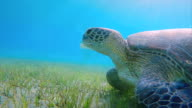 Green Sea Turtle grazing on seagrass bed on Red Sea video