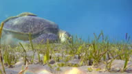 Green Sea Turtle grazing on seagrass bed / Red Sea video