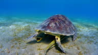 Green Sea Turtle grazing on seagrass bed , Red Sea video