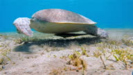 Green Sea Turtle grazing on seagrass bed - Red Sea video