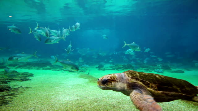 Green sea turtle in Sea World Gold Coast Queensland Australia video