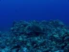 Green Sea Turtle on a Hawaiian Reef video