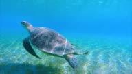 Green Sea Turtle swimming in Red Sea / Egypt video