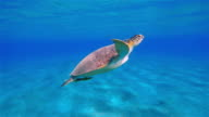 Green Sea Turtle swimming in Red Sea near Marsa Alam video