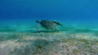 Green Sea Turtle swimming in Red Sea video