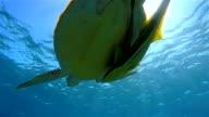 Green Sea Turtle swimming on Red Sea video