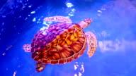 Green Sea Turtle swimming video