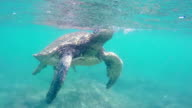 Green Sea Turtle Underwater coming up for air in the Hawaiian Islands. video