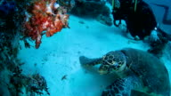 Green sea turtle using its fins to bite soft coral video