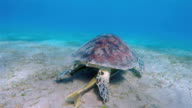 Green Sea Turtle with Remora Fish grazing on seagrass bed / Marsa Alam video