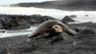 Green sea turtles in Black beach, Hawaii video