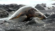 Green sea turtles in Black beach, Hawaii video